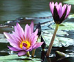 double lotus in pond